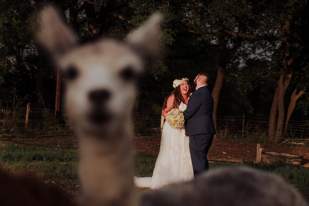 portrait of couple laughing with an alpaca